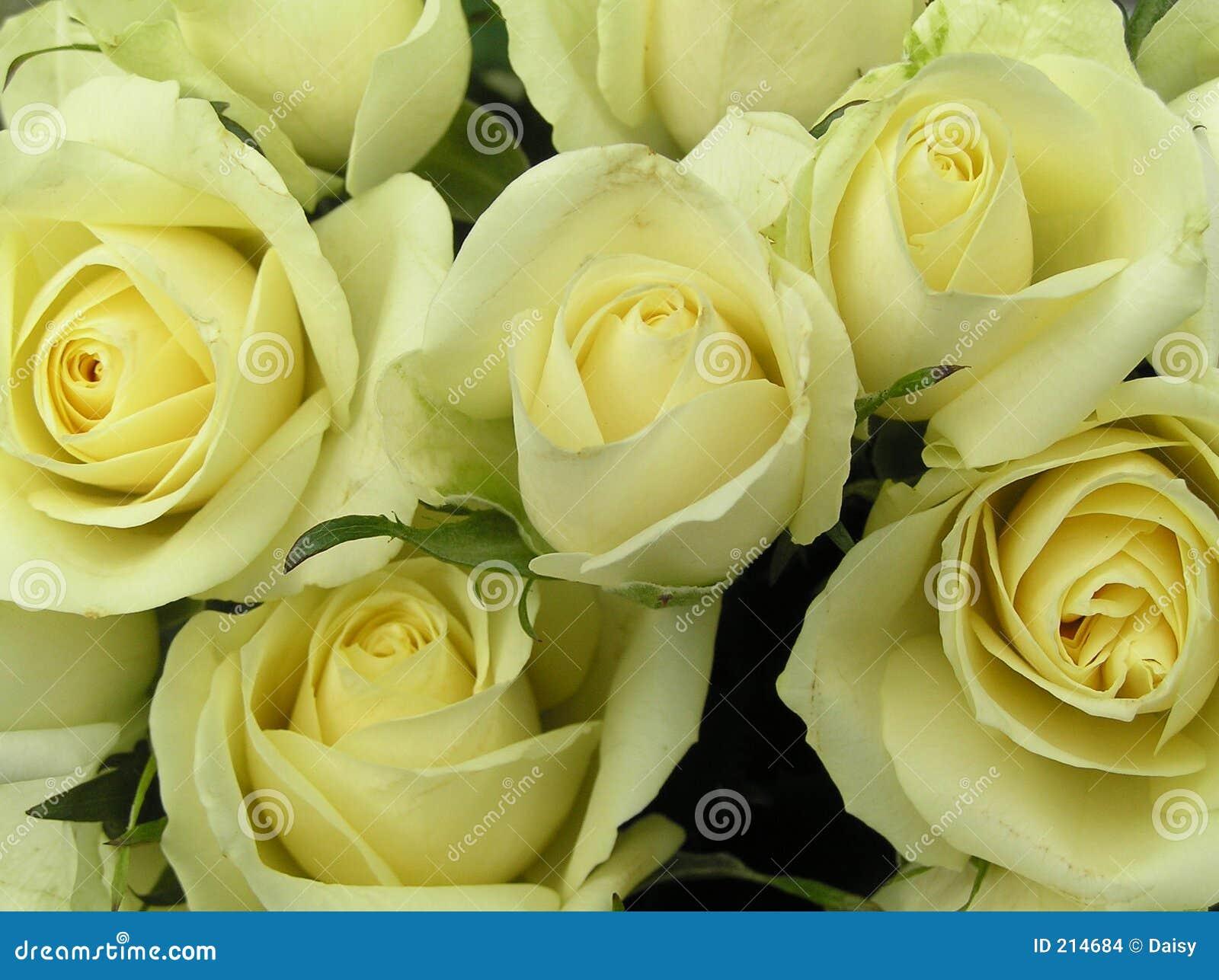 Romig witte rozen