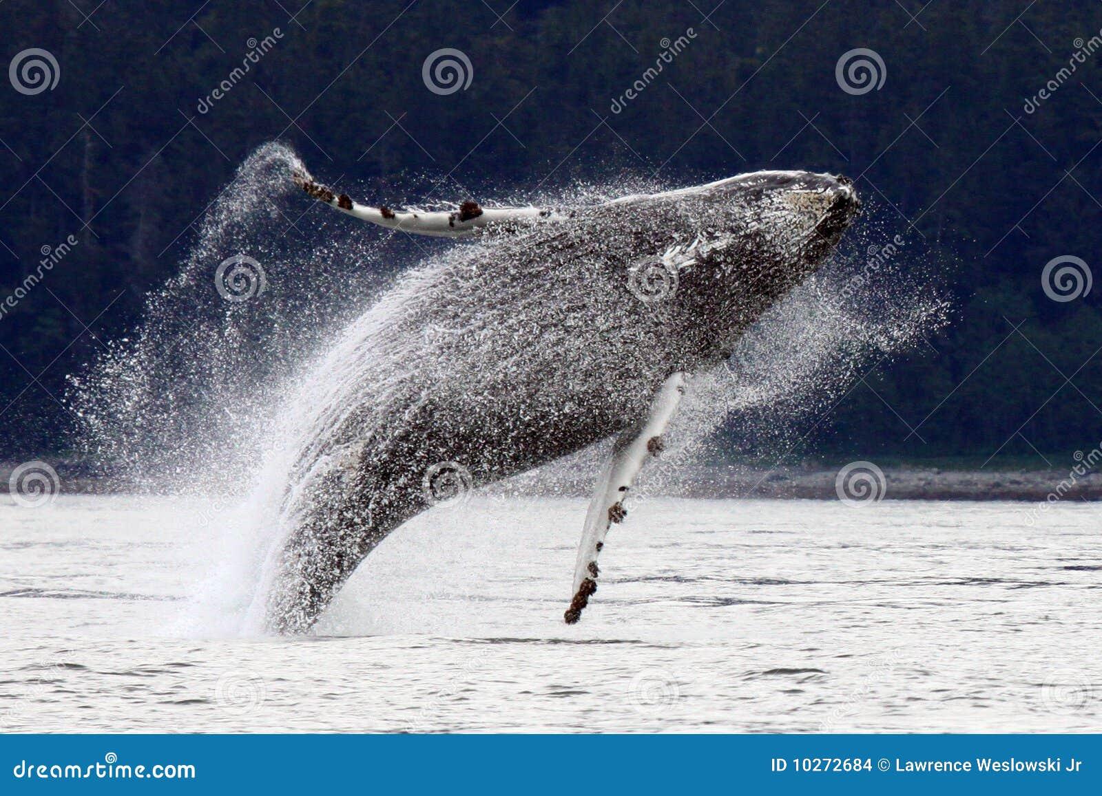 Rompimento, pulando a baleia de Humpback do Alasca