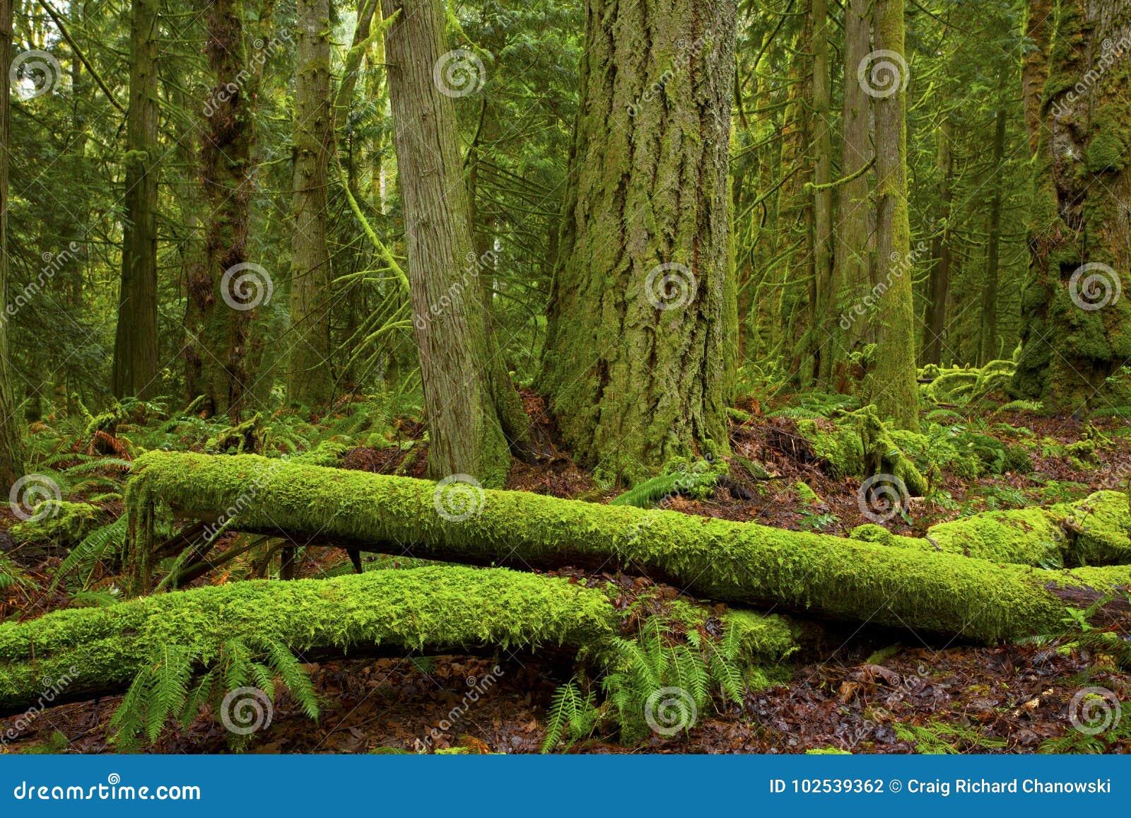 Rondins du nord-ouest Pacifiques d arbre de forêt et de conifère