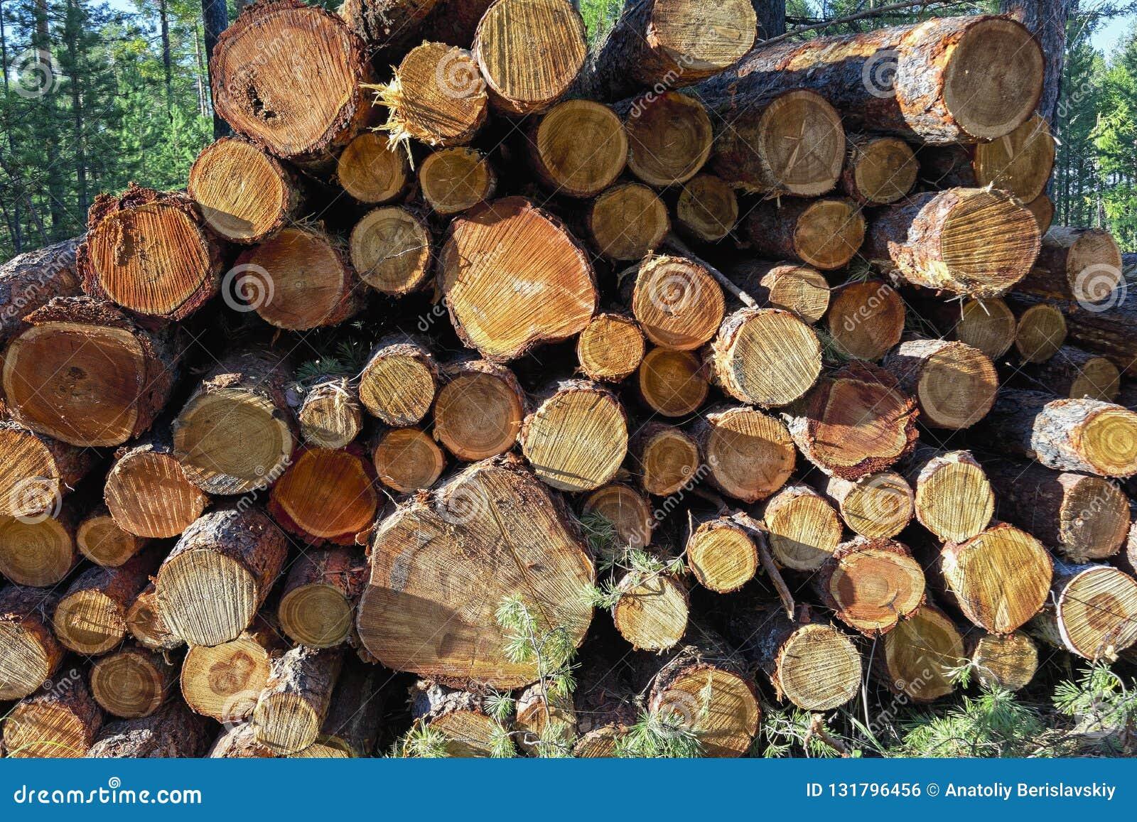 Rondins en bois des bois de pin dans la forêt, empilés dans une pile