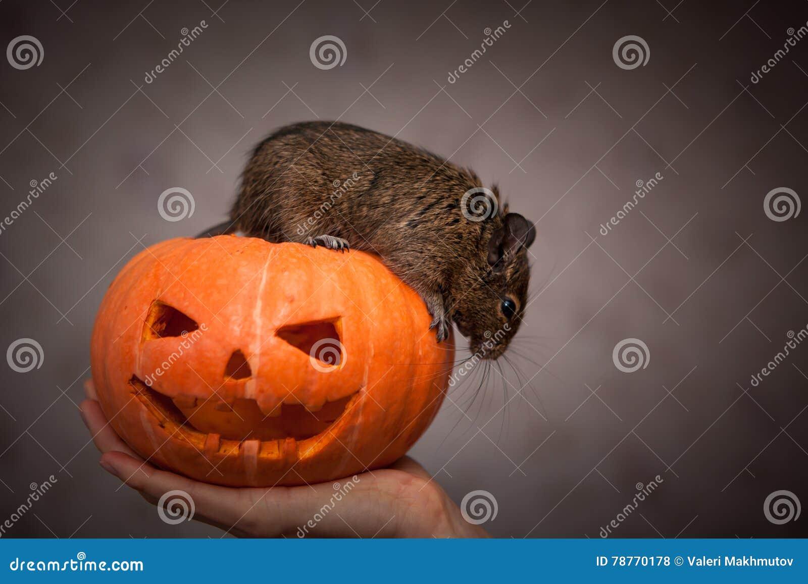 Rongeur en potiron de Halloween
