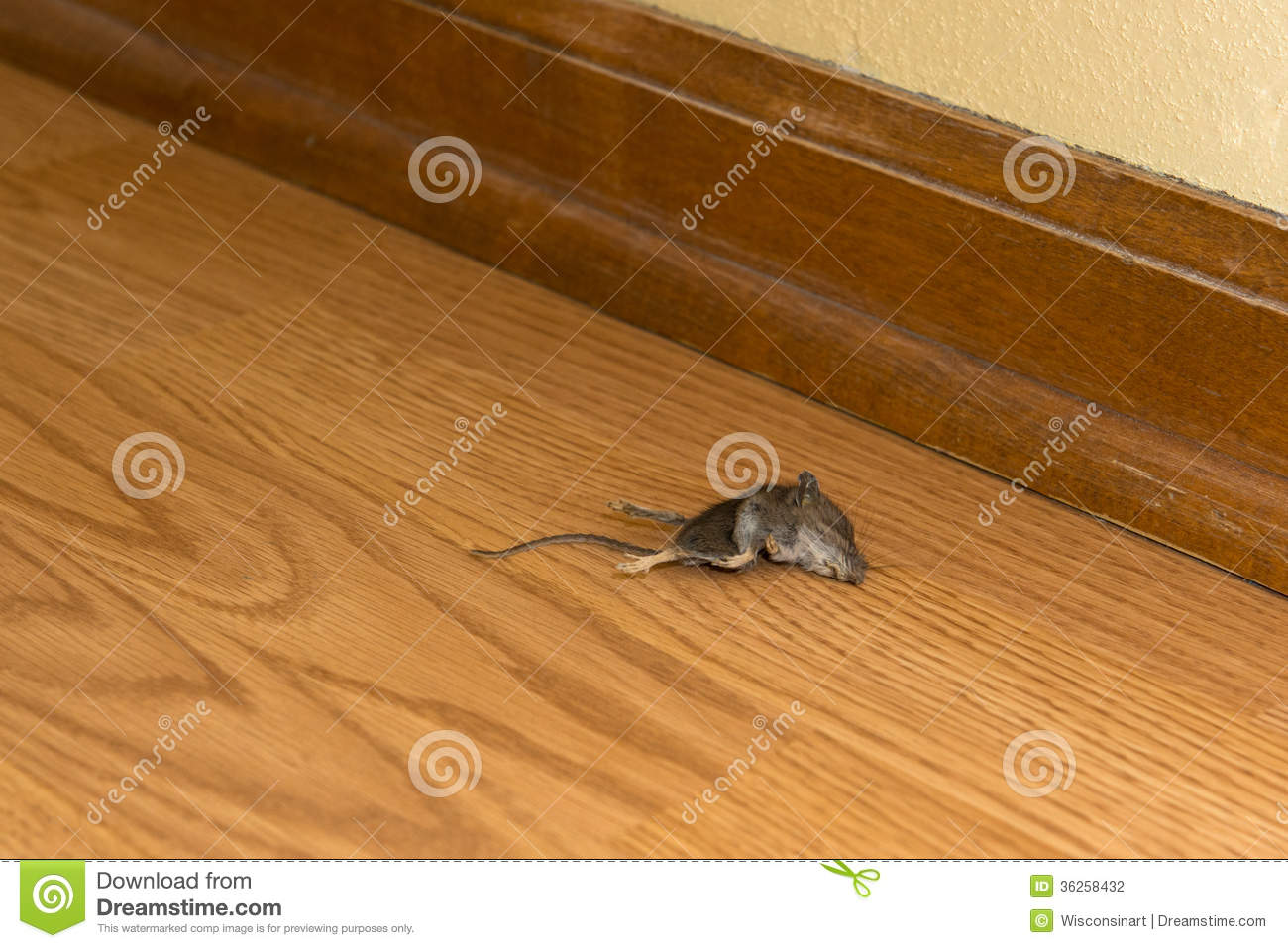 rongeur mort de souris dans la chambre ou la maison vermine photo stock image du parasites. Black Bedroom Furniture Sets. Home Design Ideas