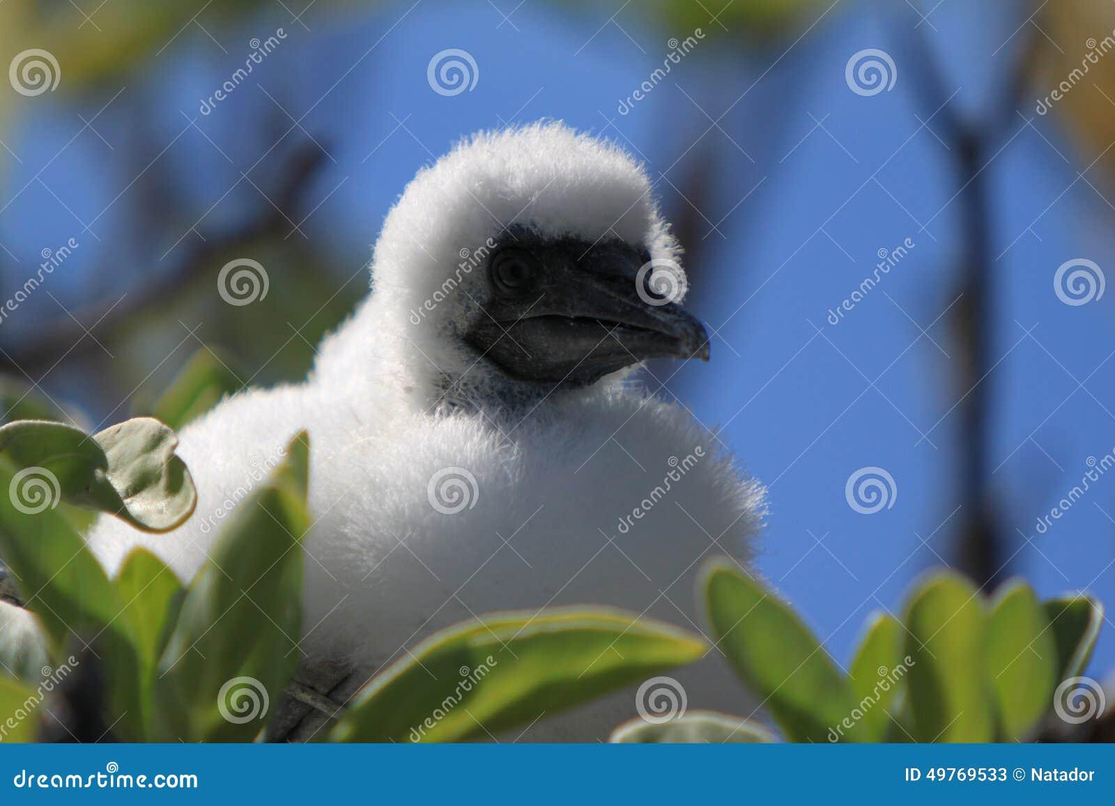 Rood-betaald Domoorkuiken in het Nest