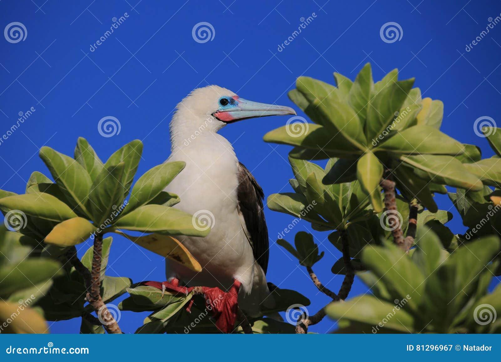 Rood-betaalde Domoorvogel