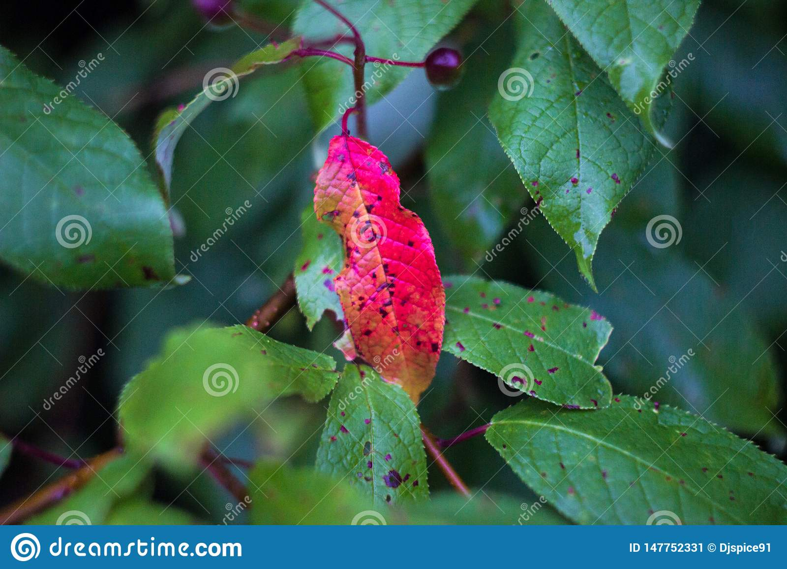 Rood blad op een tak met groene bladeren