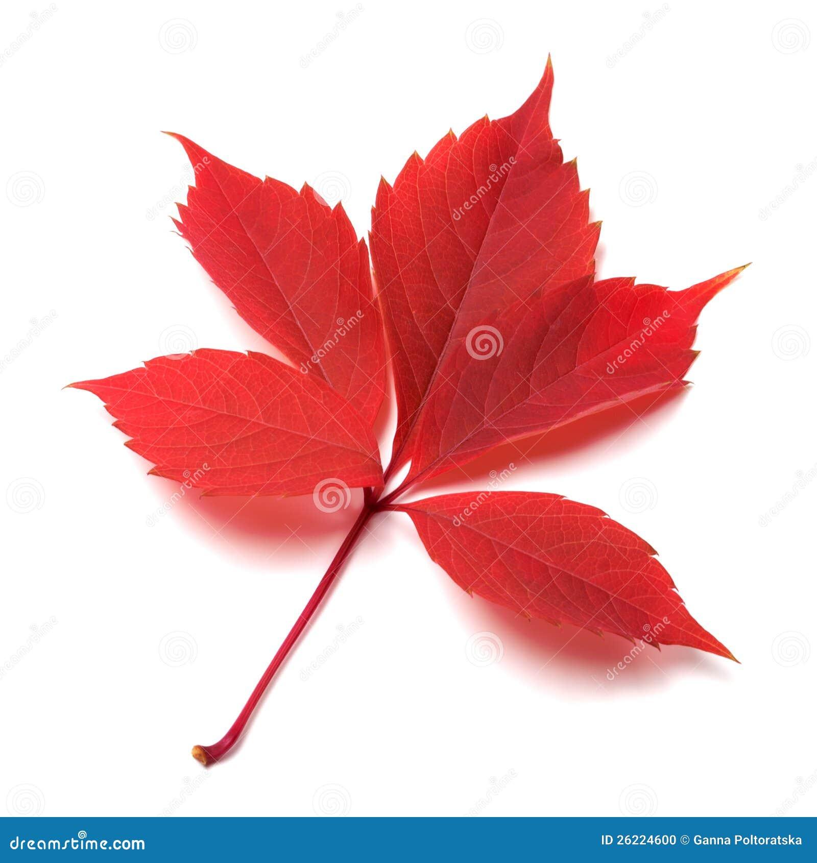 Rood de herfstblad op witte achtergrond stock foto   afbeelding ...