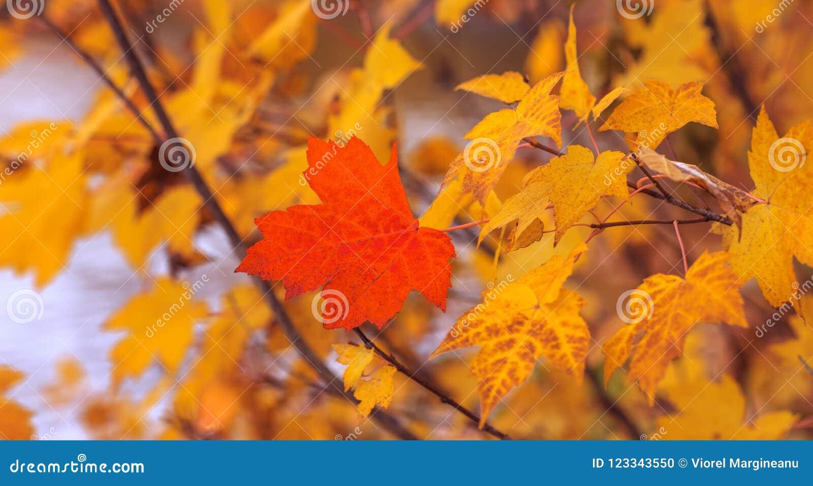 Rood die esdoornblad op achtergrond van anderen gele bladeren wordt geïsoleerd N