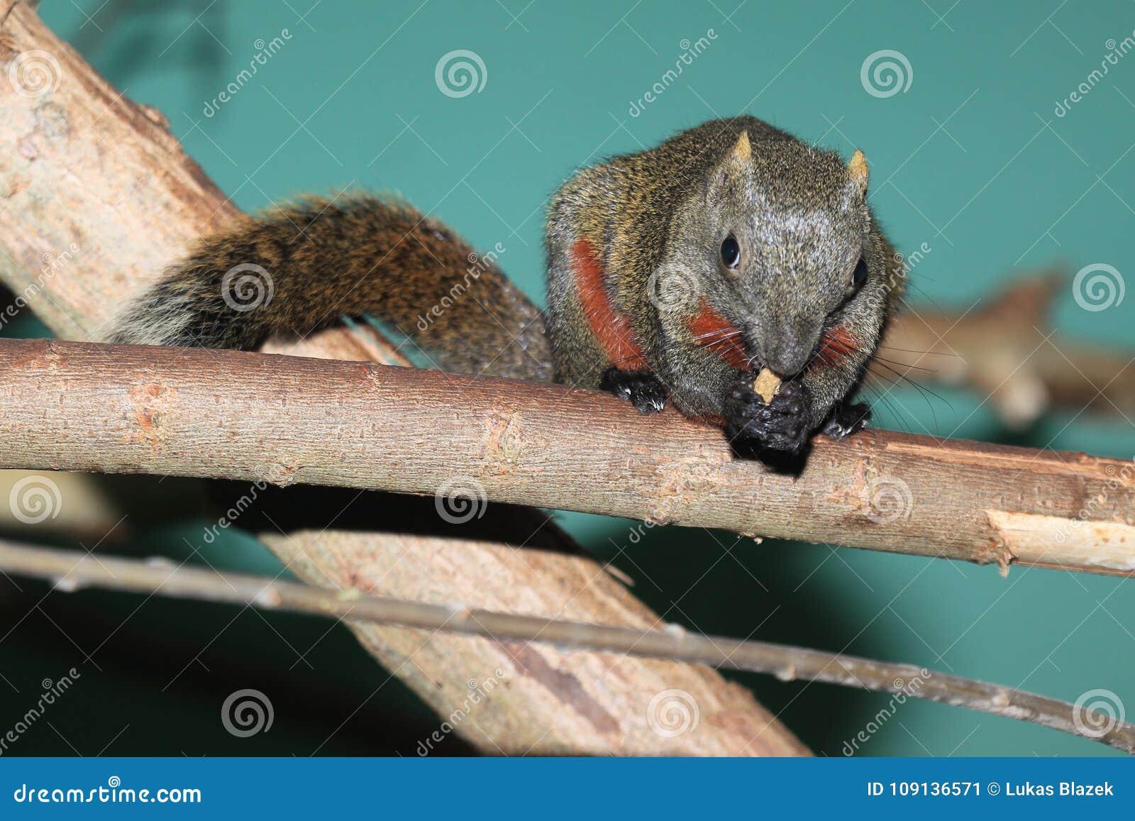 Rood-doen zwellen boomeekhoorn