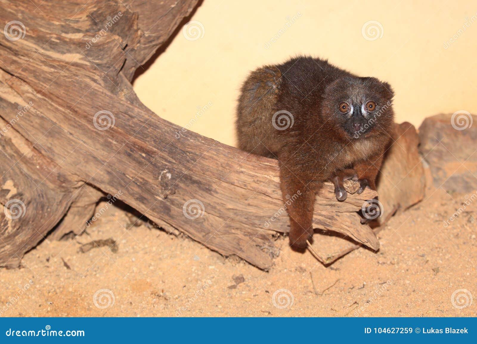 Download Rood-doen zwellen Maki stock afbeelding. Afbeelding bestaande uit lemur - 104627259