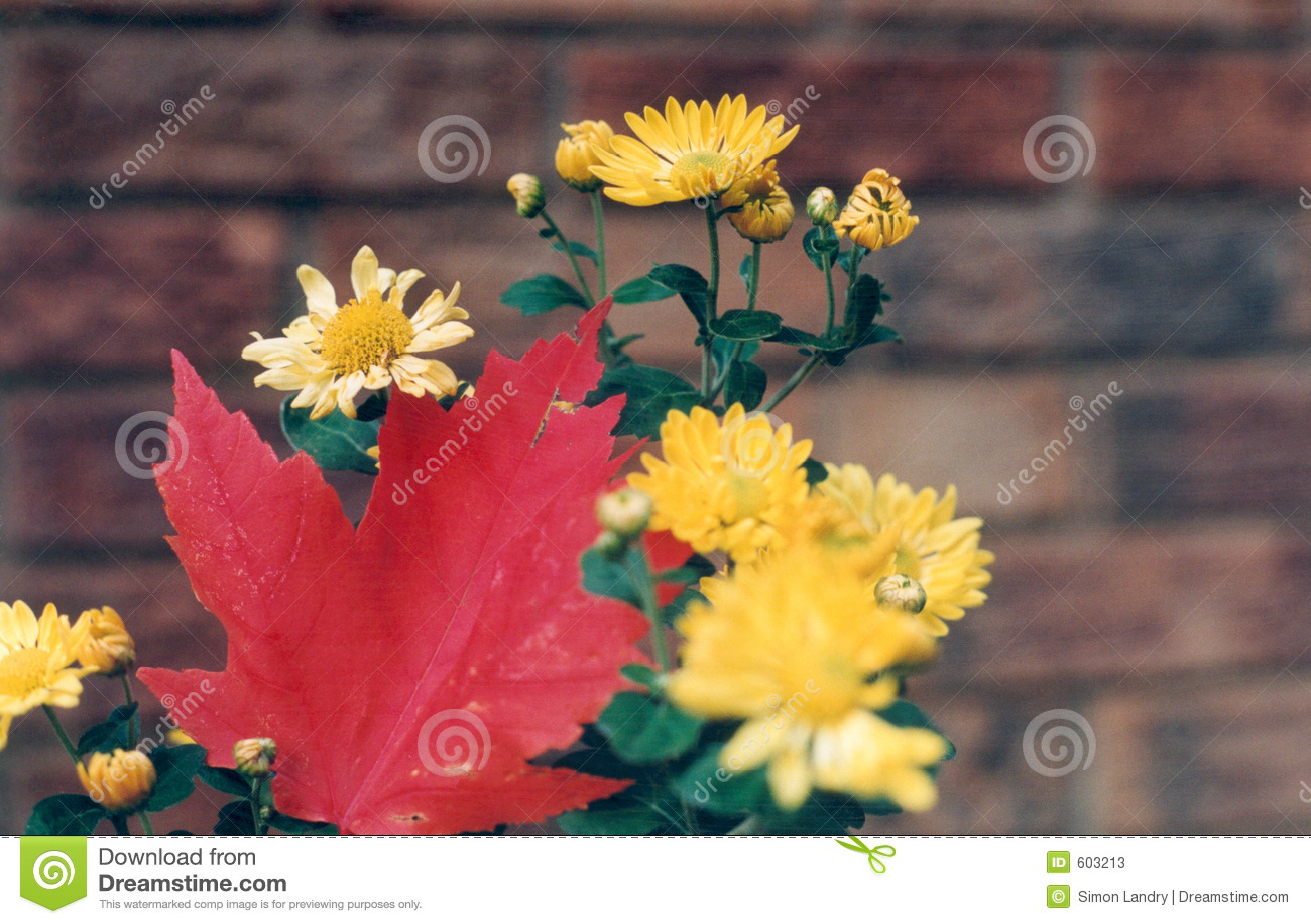 Rood esdoornblad, gele bloemen