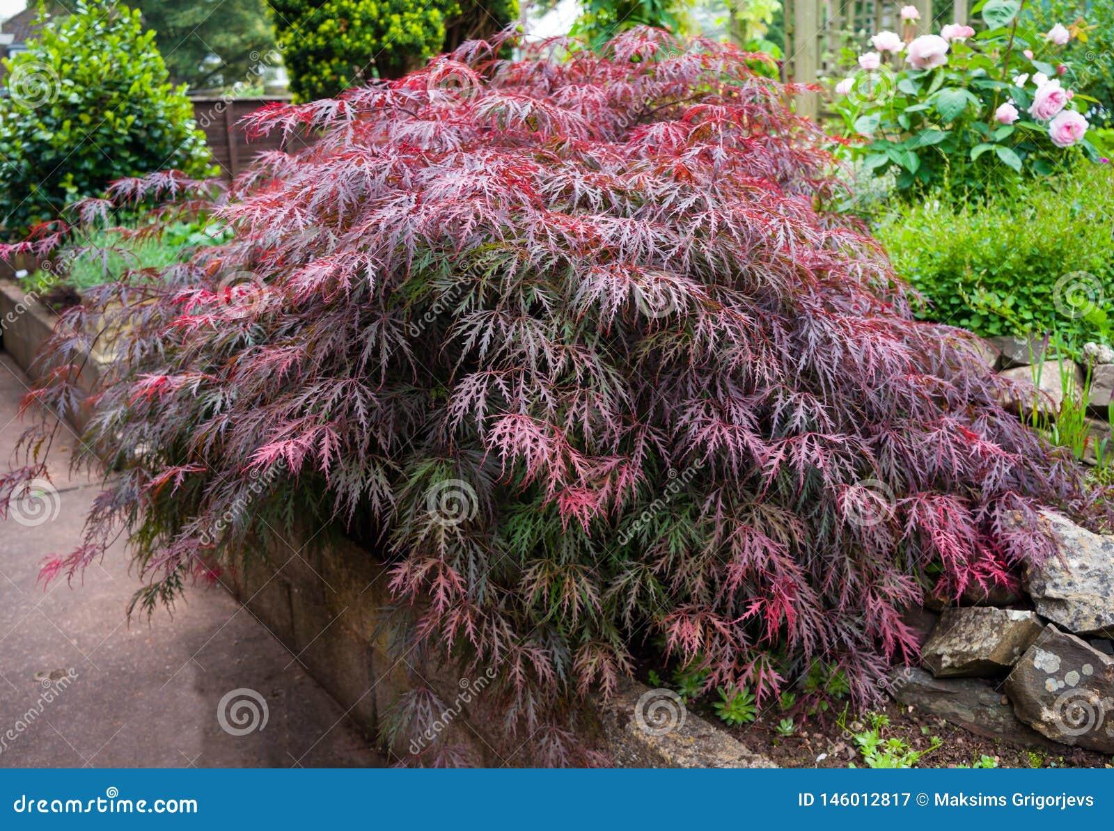 Rood gebladerte van het huilen Laceleaf Japanse palmatum van Acer van de Esdoornboom in tuin