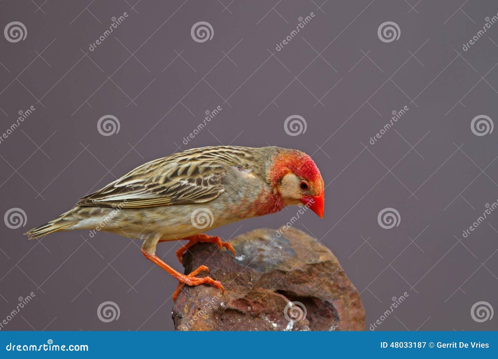 Rood-gefactureerde die Quelea op rots wordt neergestreken (Wit masker);