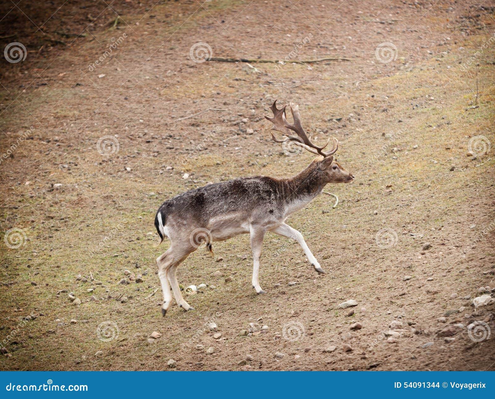 Rood hertenmannetje in het bos van de de herfstdaling