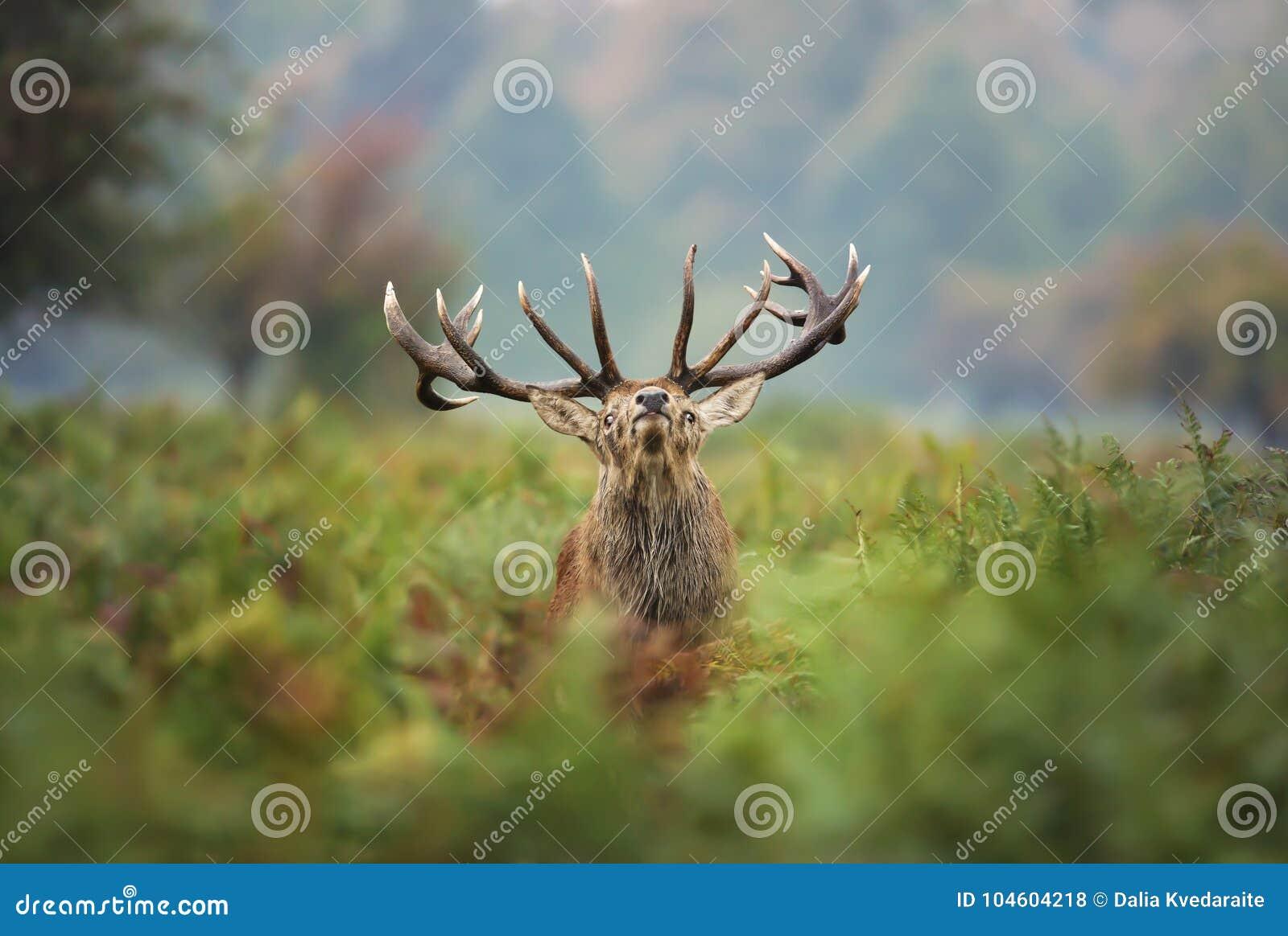 Rood hertenmannetje tijdens de sleur