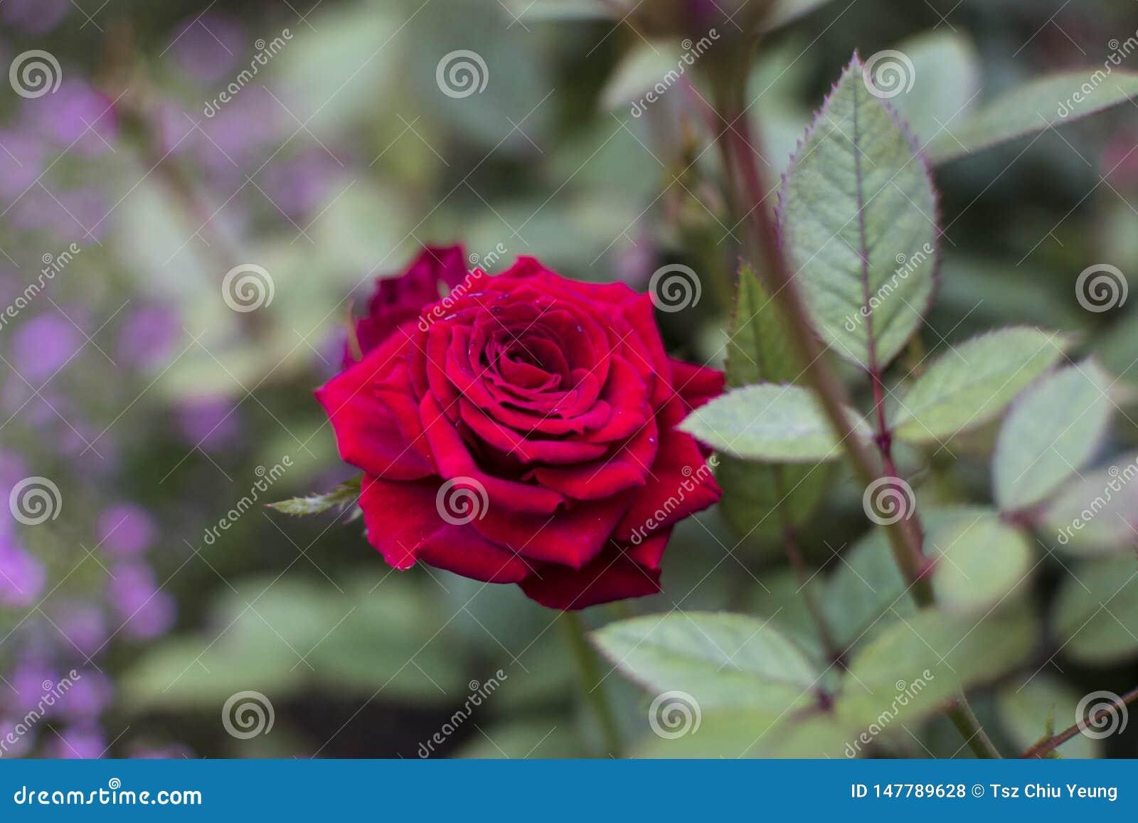 Rood nam in Hong Kong Flower Show 2019 toe