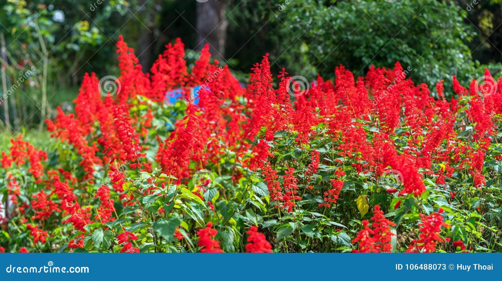 Rood Salvia-broedsel in de middagzon