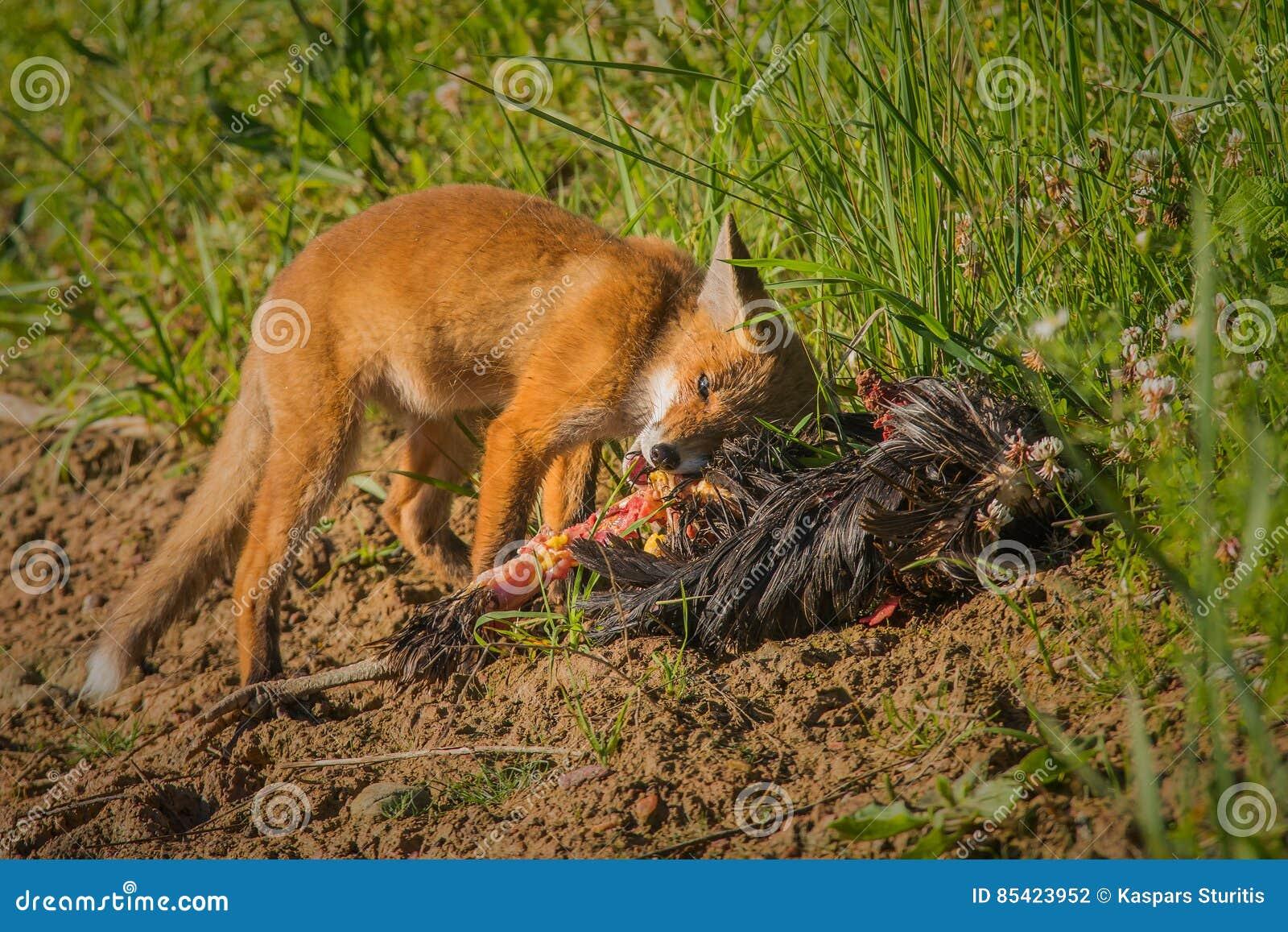 Rood vosontbijt
