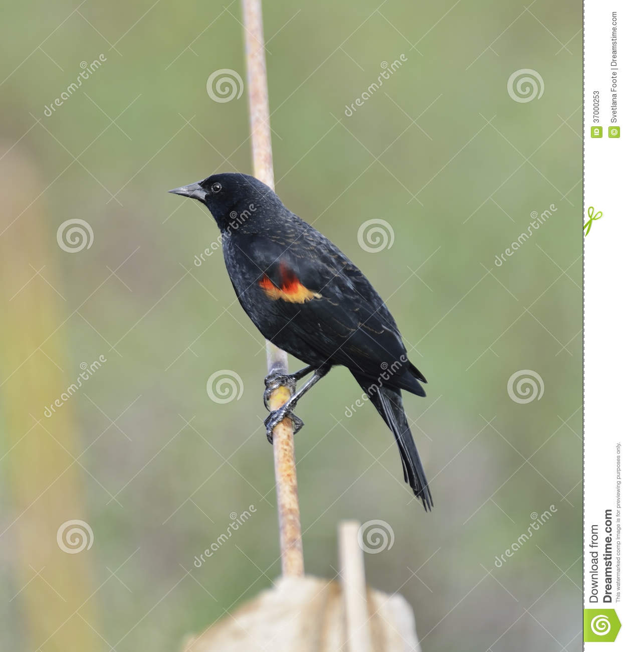 Rood Wing Blackbird