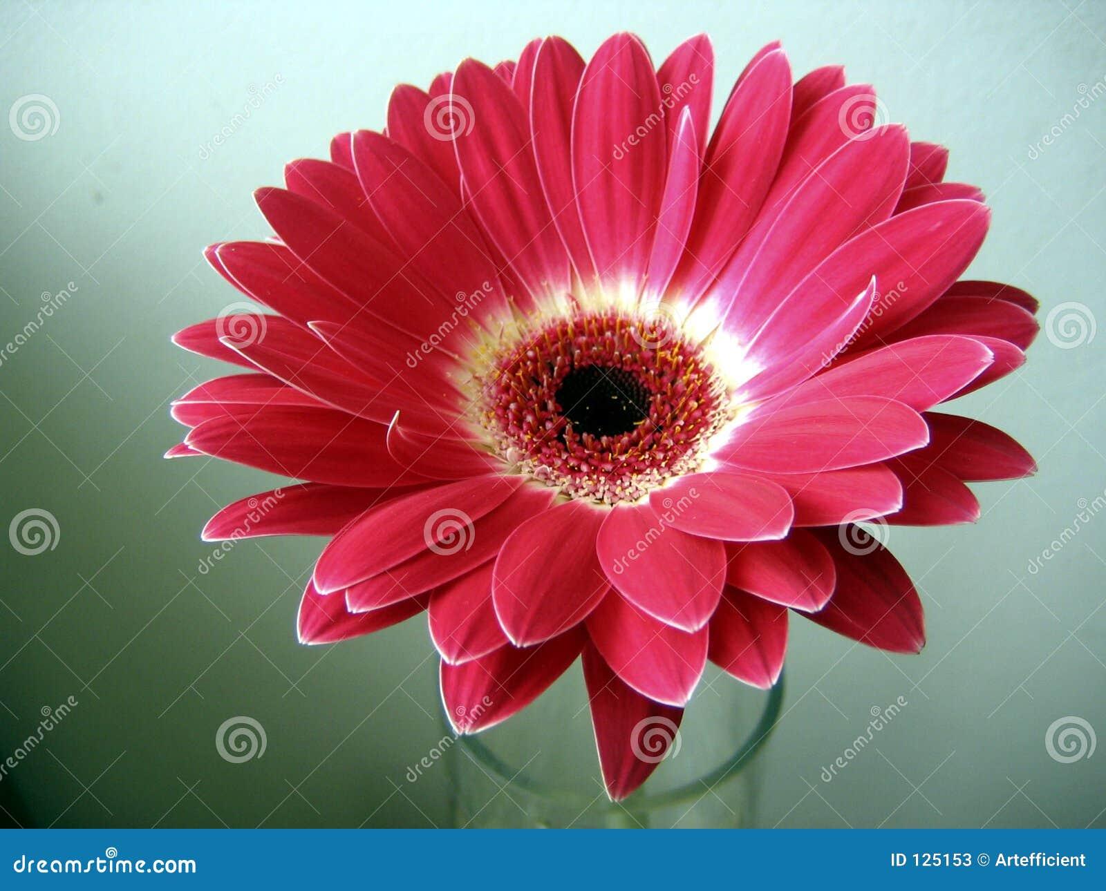 Rood witte dichte omhooggaand van de bloem gerbera op for Gerbera in de tuin