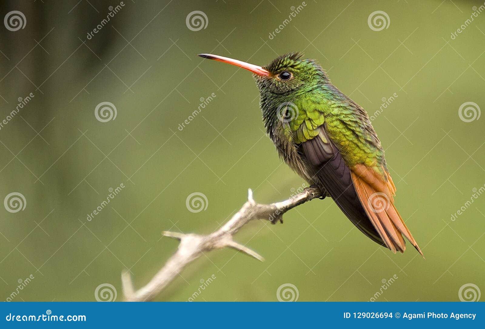 Roodstaartamazilia Rufous-tailed kolibri, Amazilia tzacatl