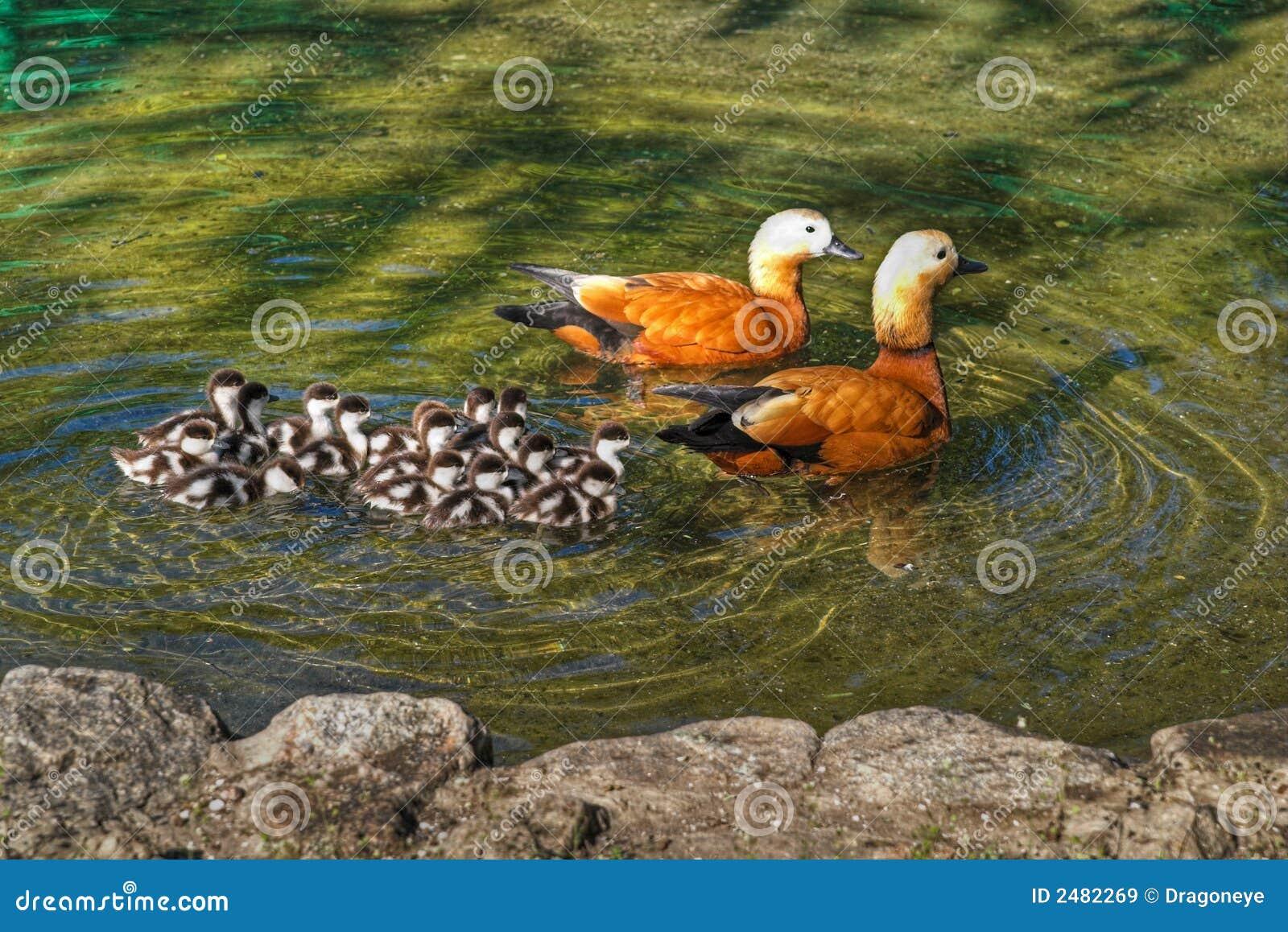 Roody shelduck family in pond