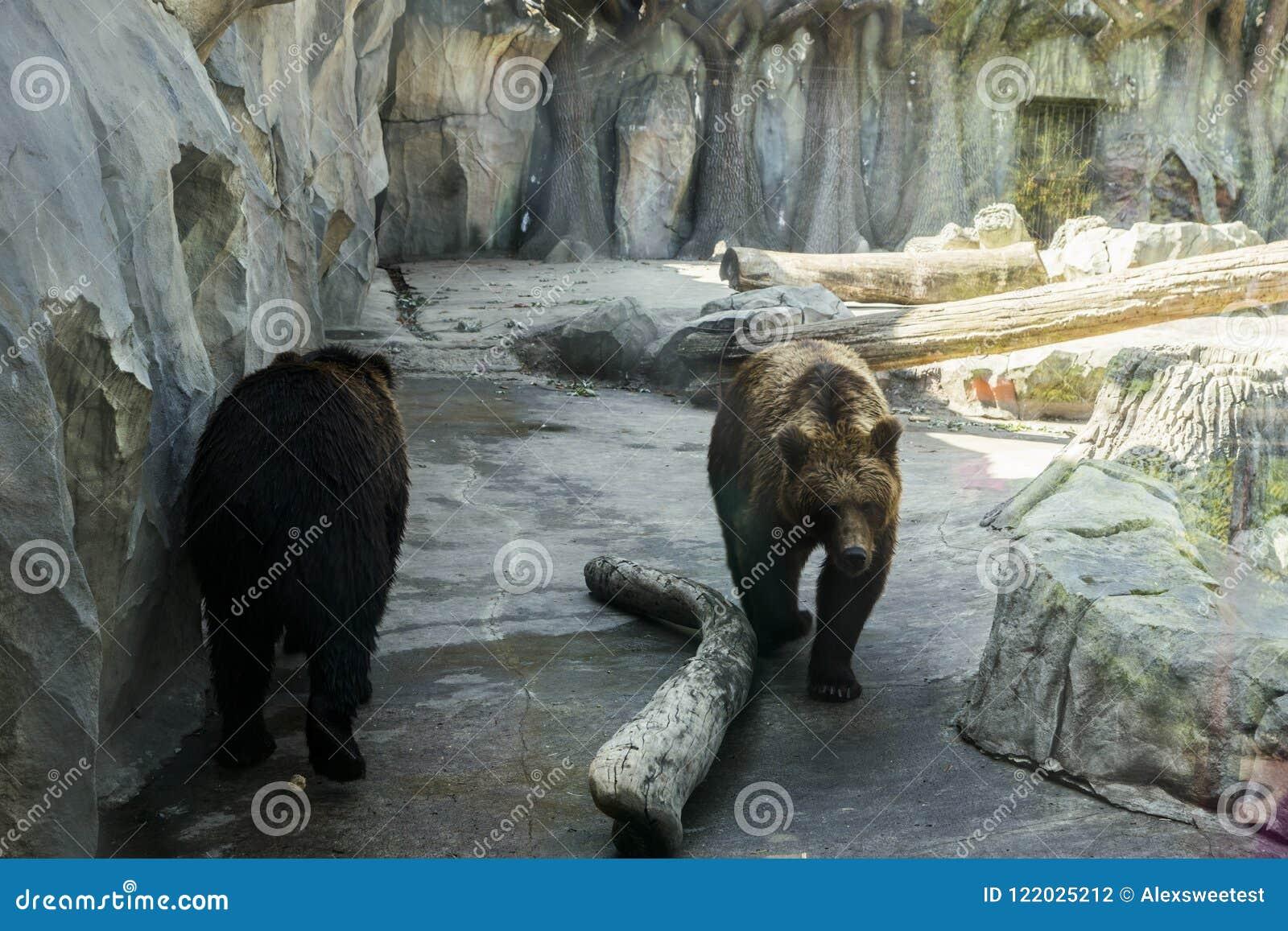 Roofdieren wit-chested beren