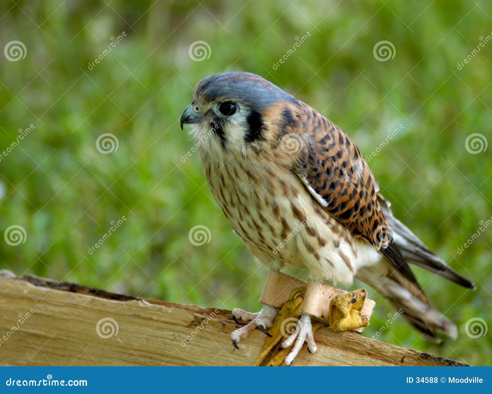 Download Roofvogel - Torenvalk stock foto. Afbeelding bestaande uit veren - 34588