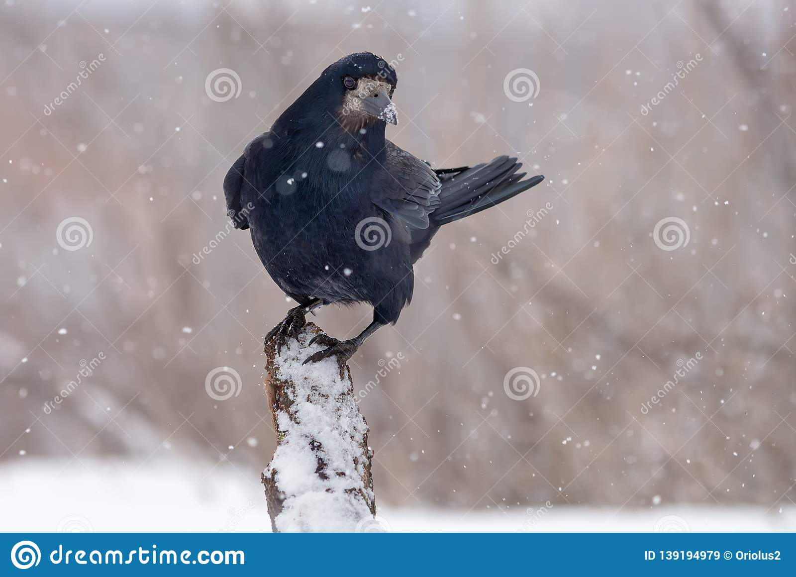 Rook stands on top of a snow covered snag or trunk in snow storm