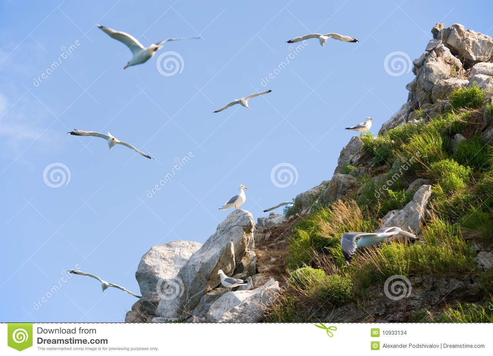 Rookery чайки