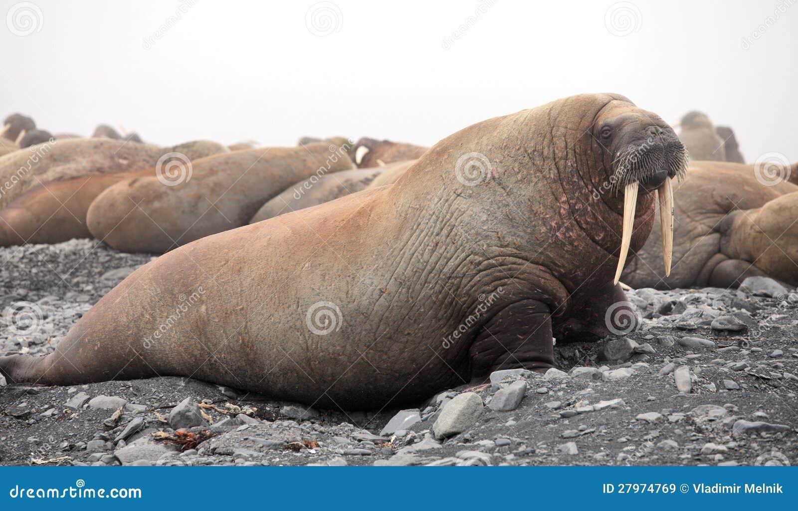 Rookery Walrus