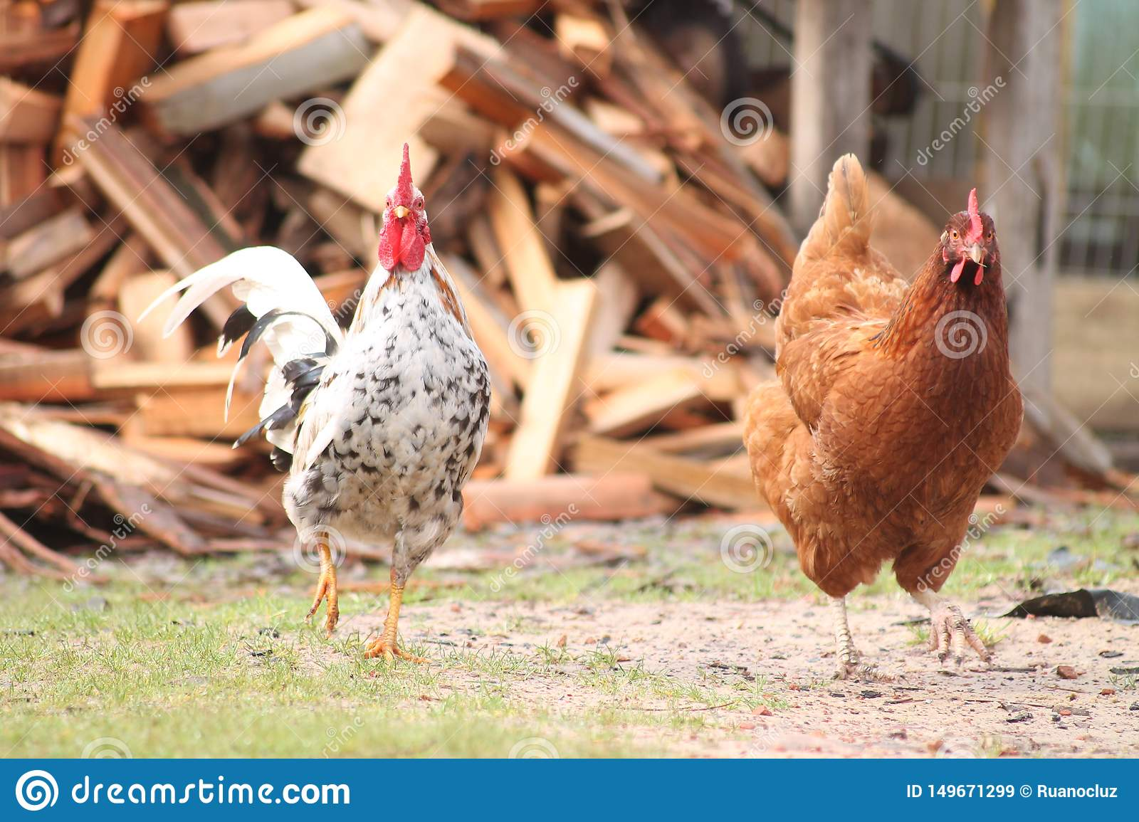 The rooster and the chicken walk by the farm