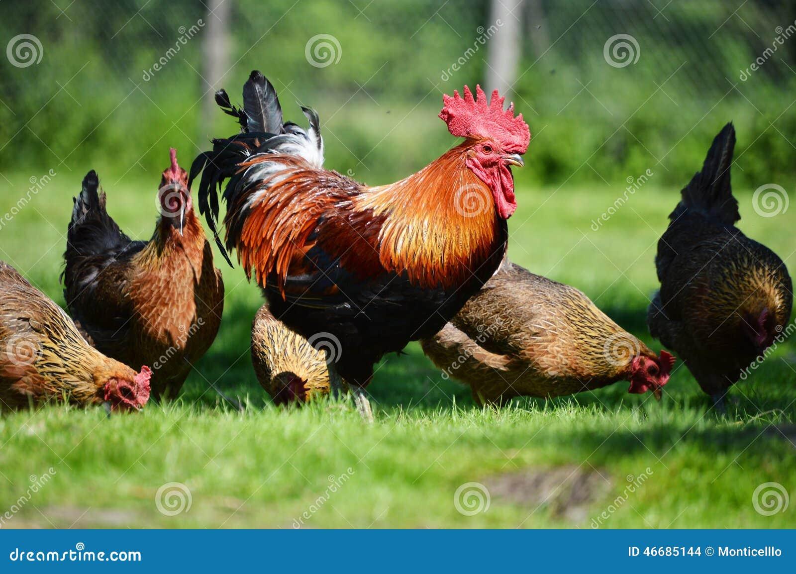 Starting Broiler Poultry Farming Business Plan (PDF)