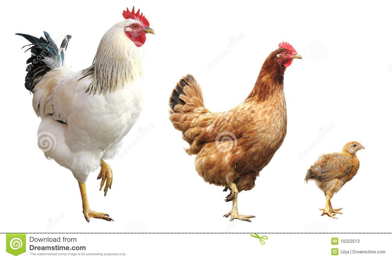 Rooster Hen And Chicken Isolated Stock Image Image Of