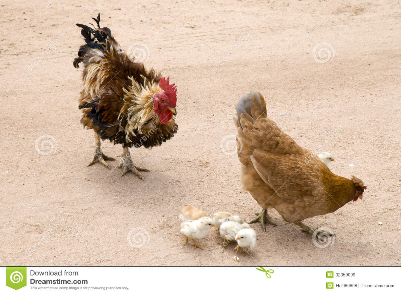 Rooster Hen And Chicks Stock Image Image Of Free Fowl 32359099
