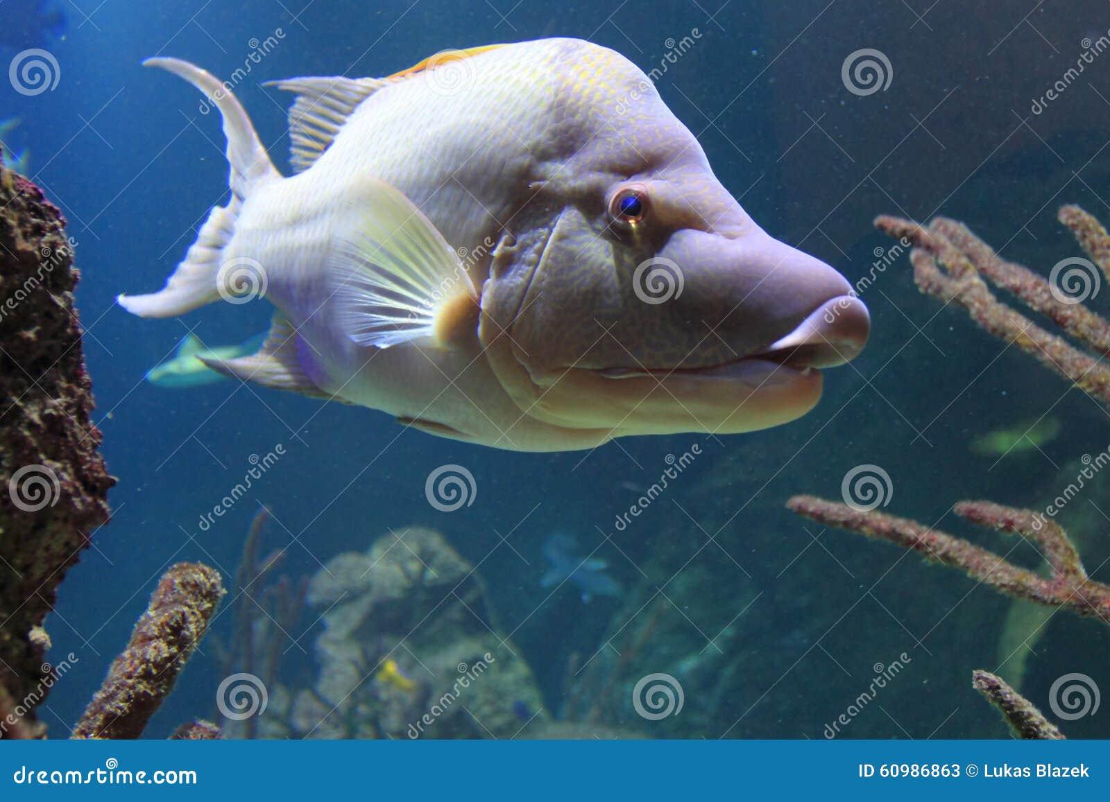 Hogfish Stock Photo - Image: 48502672