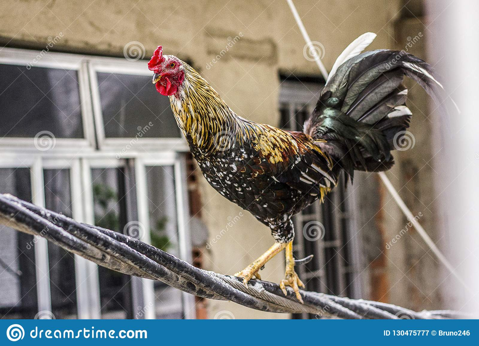 Rooster on wires