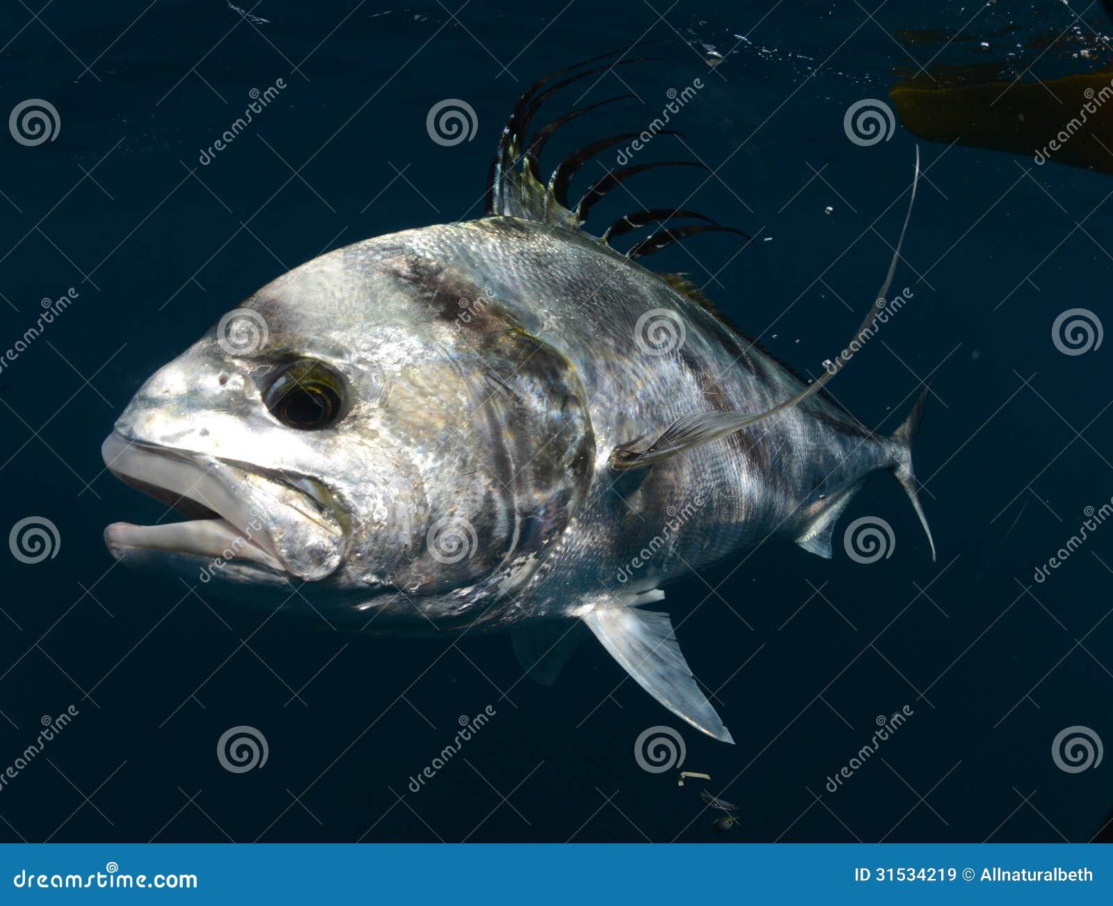 roosterfish die unter wasser im warmen wasser schwimmen