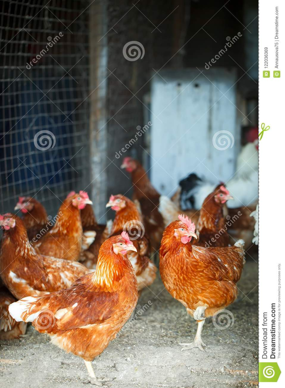 Roosters and hens on a traditional poultry farm. Agriculture.