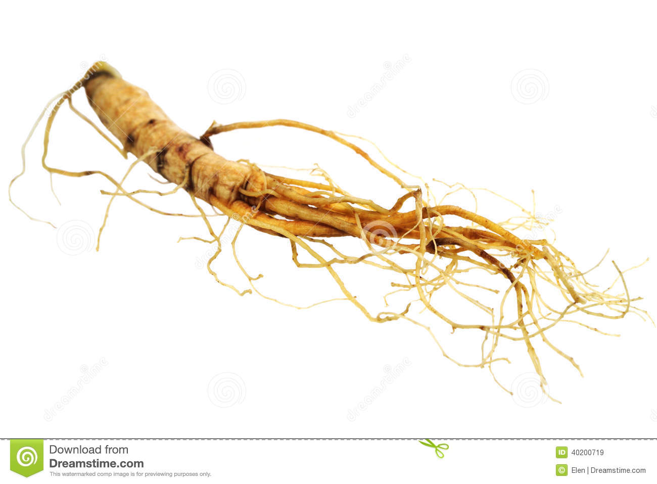 The root of ginseng