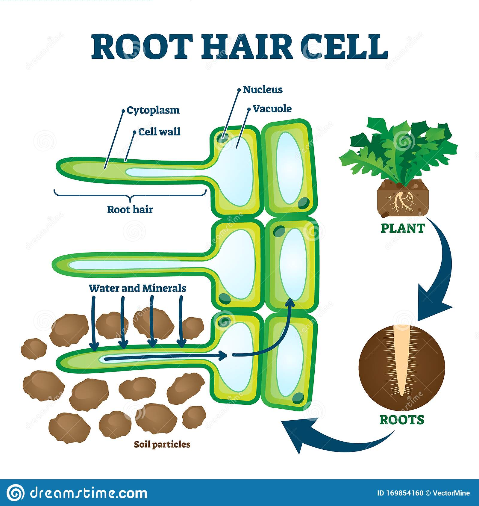 Root Hair Cell Collecting Mineral Nutrients And Water From