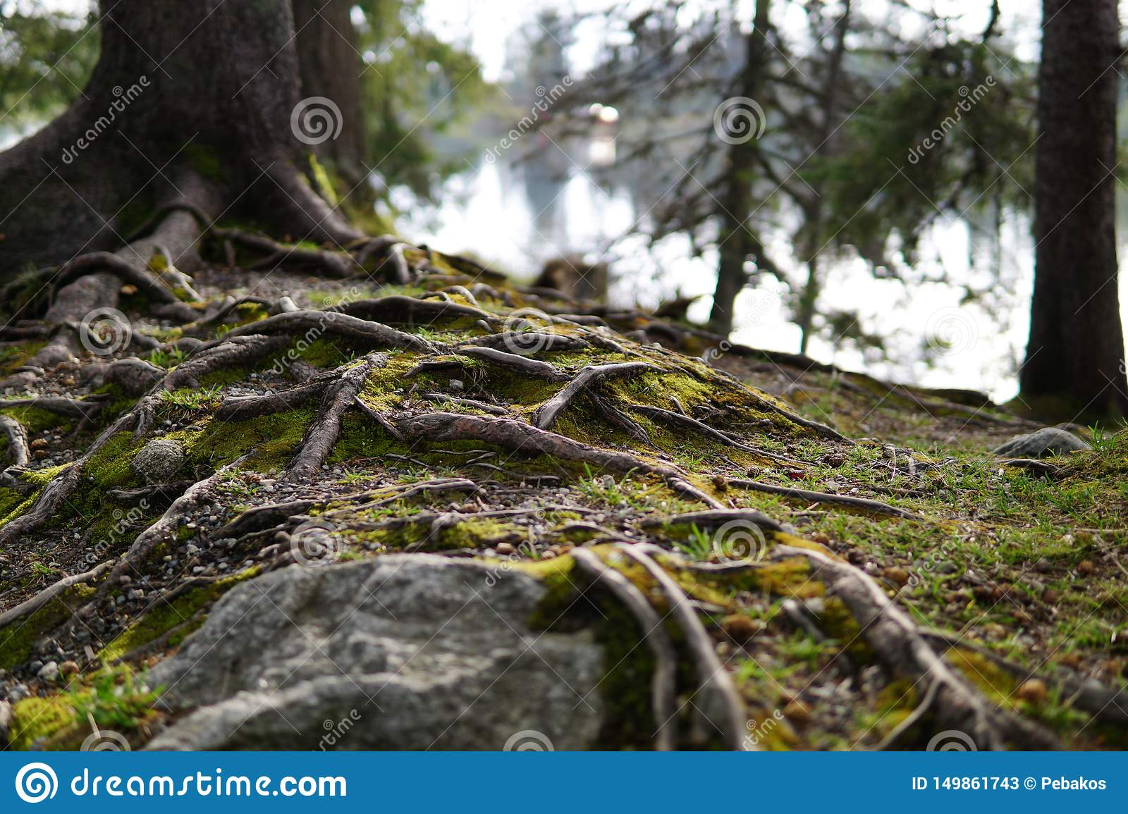 Roots of an old tree near the lake