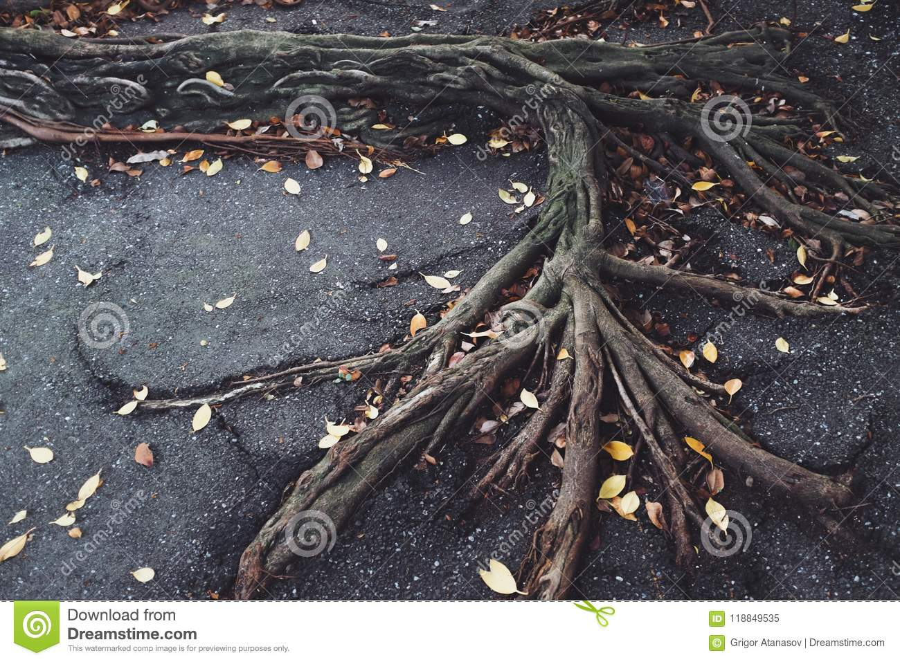 Roots on pavement