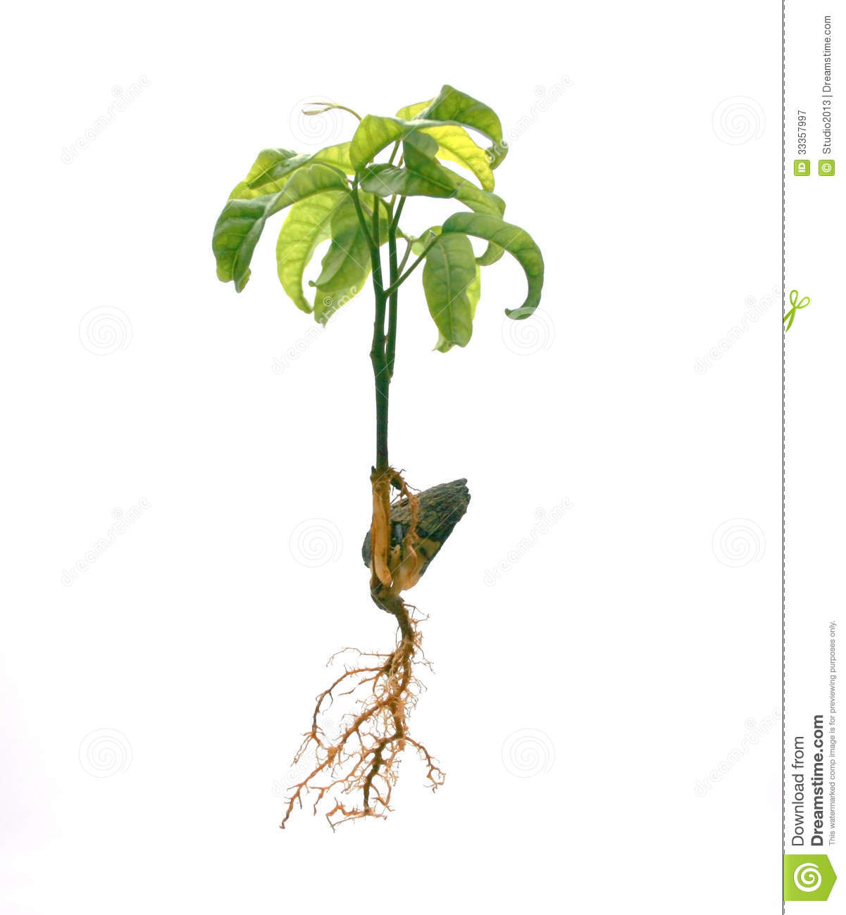 Roots stock image. Image of green, life, isolated, roots ...