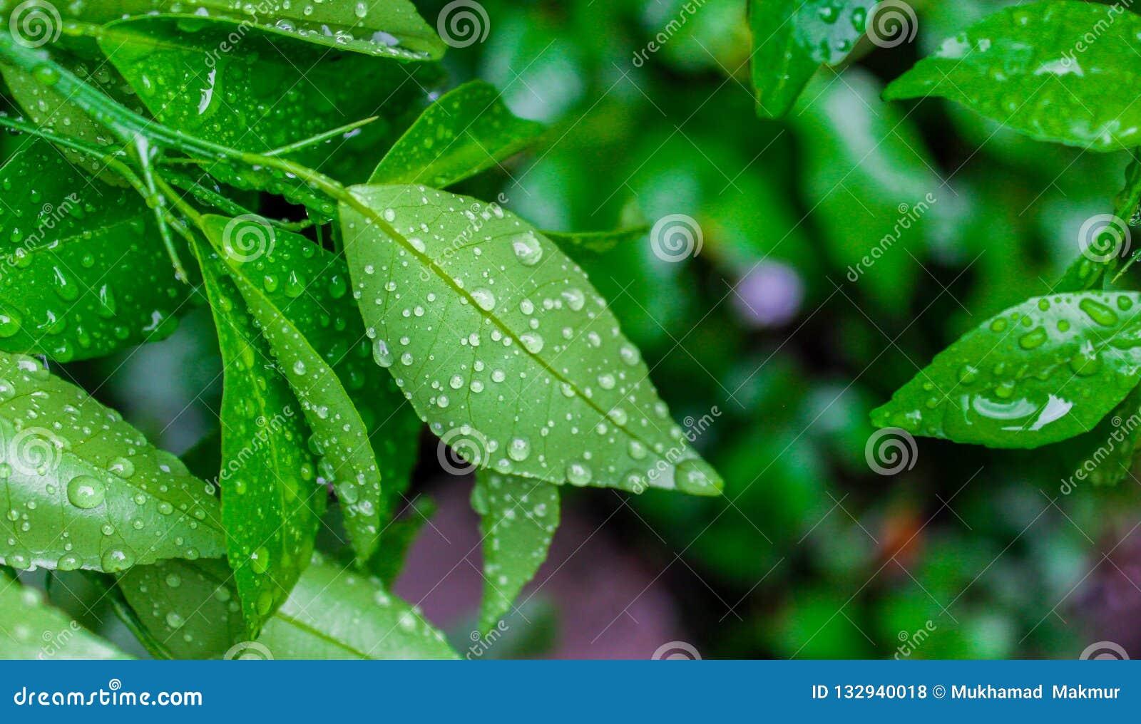 Rosée de matin sur des feuilles de chaux