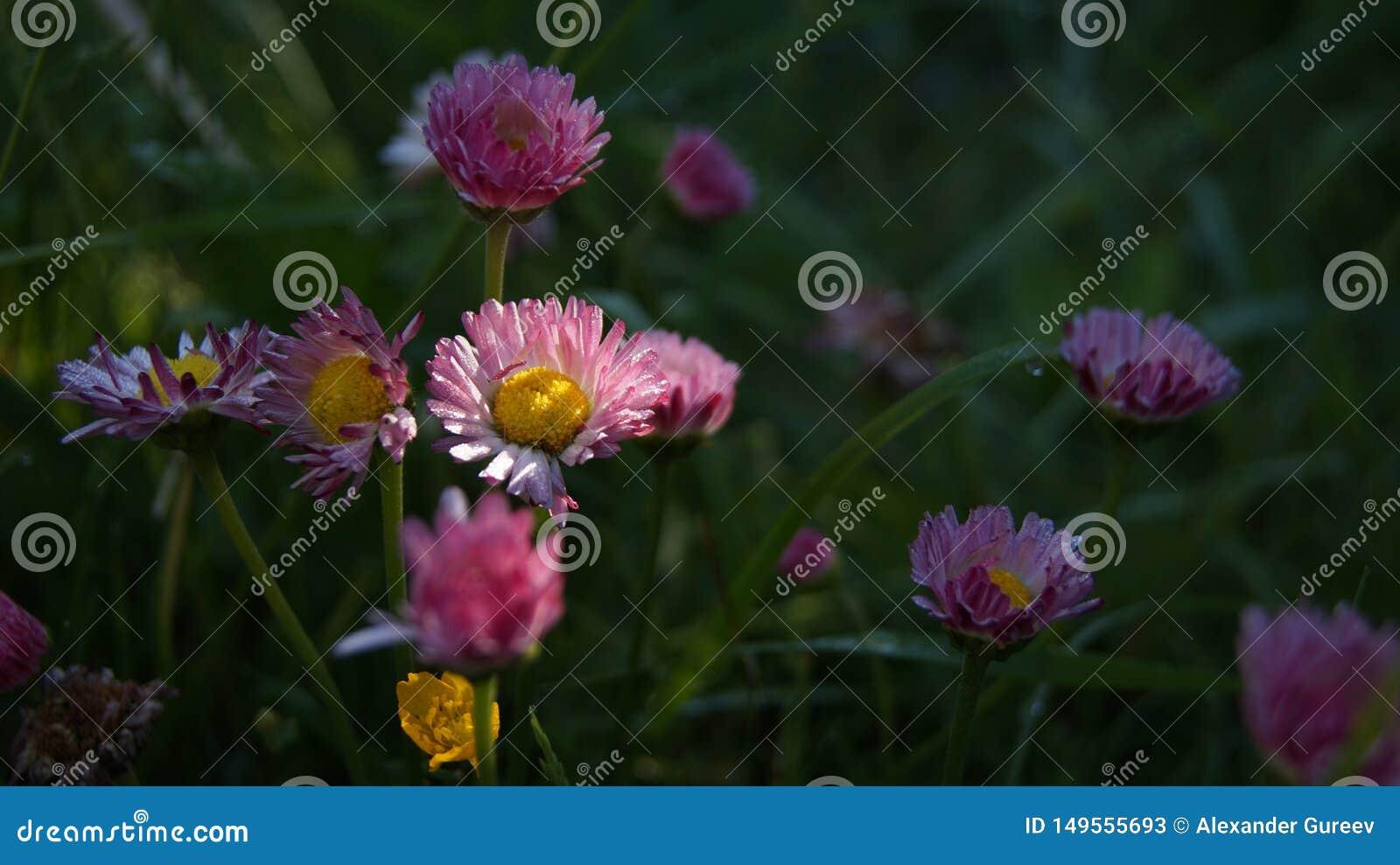 Ros?e de matin sur des fleurs de myosotis illumin?es par les premiers rayons du soleil