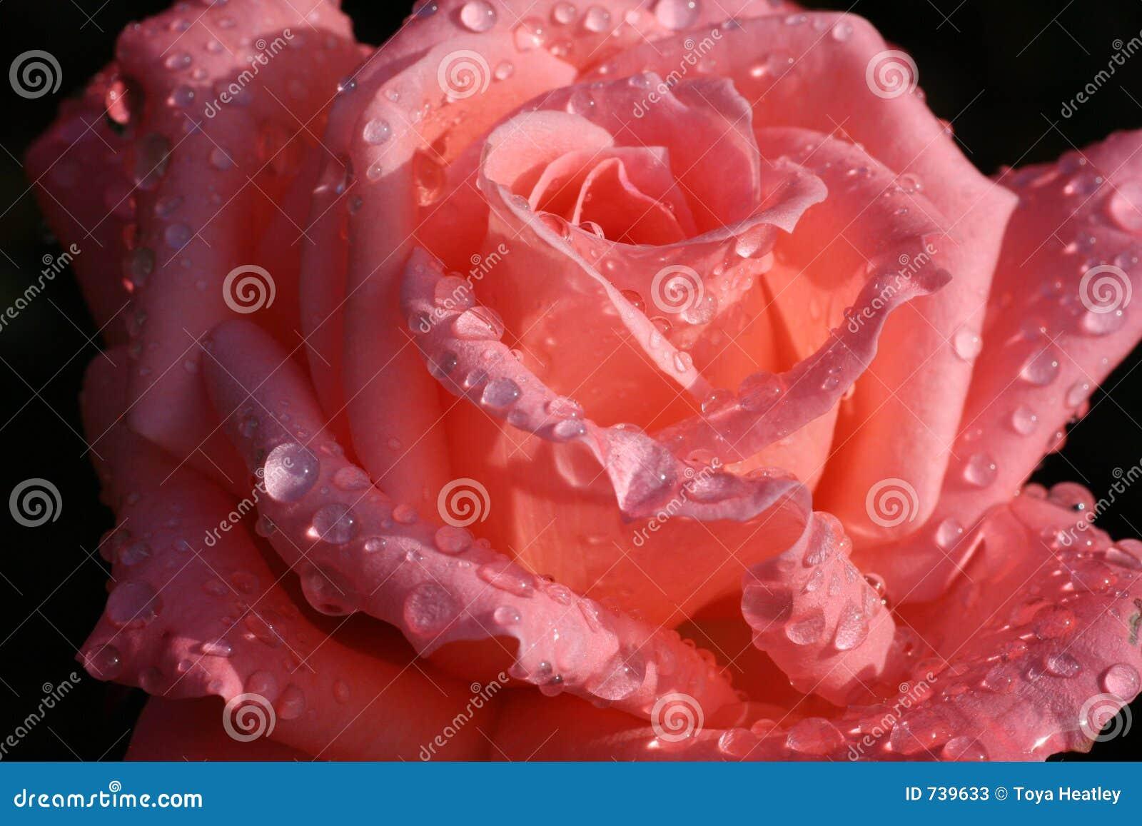 Rosée embrassée