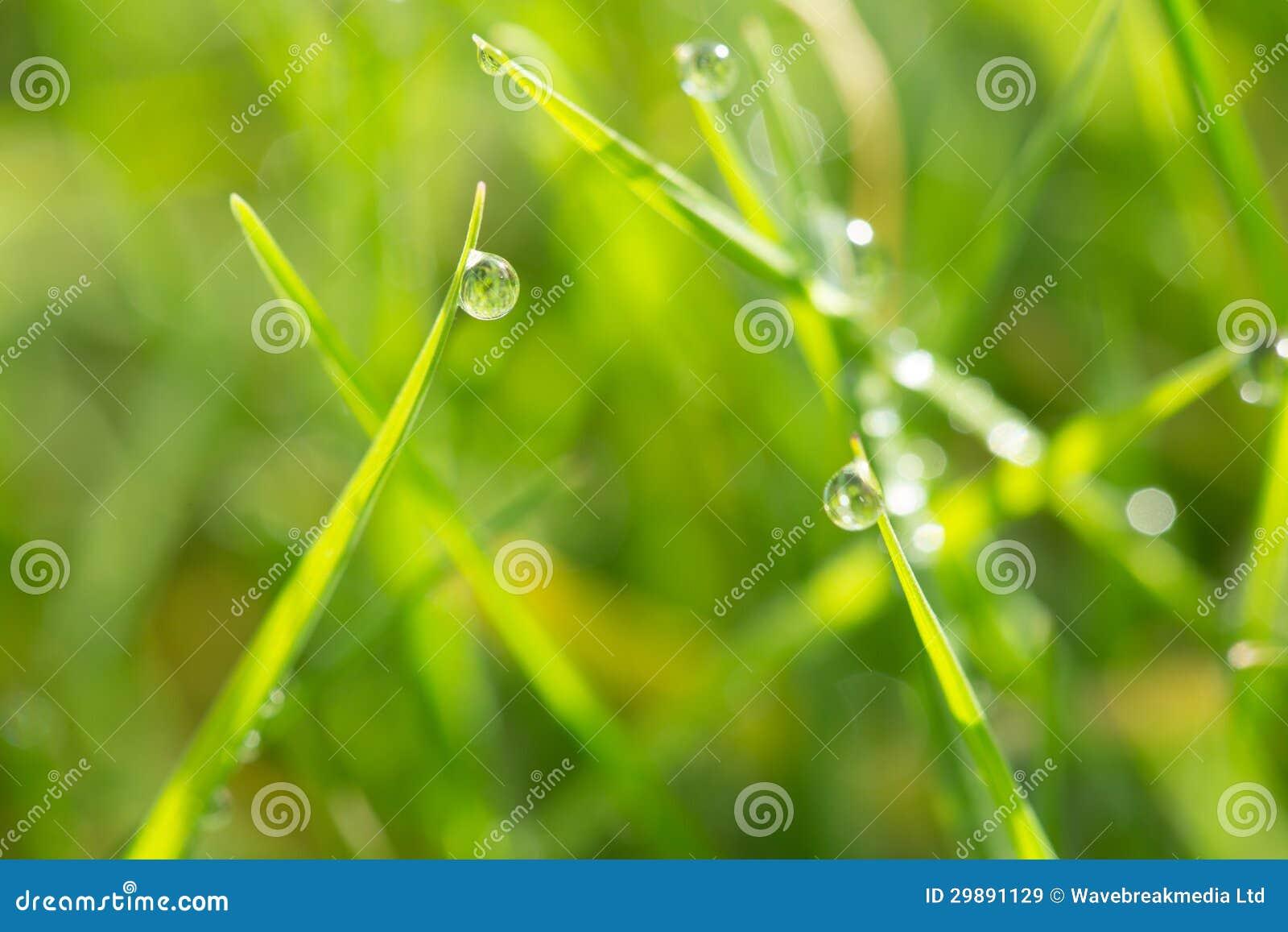 Rosée sur l herbe