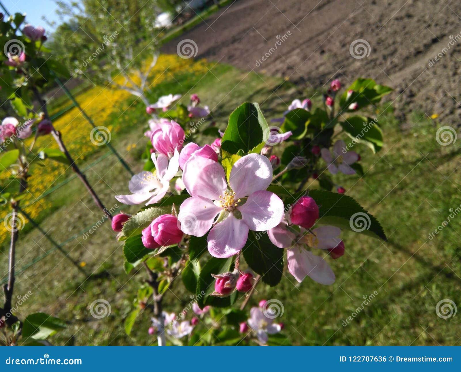 Rosa äppleblomning i den ukrainska trädgården