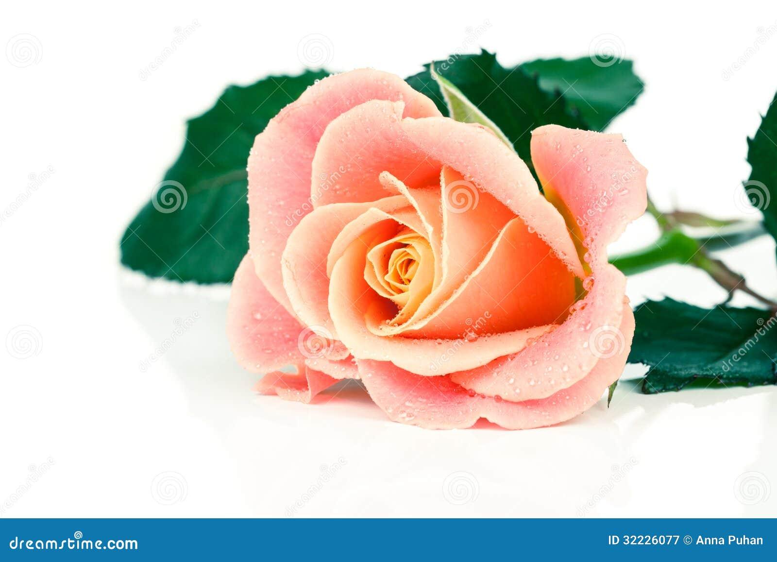 Download Rosa imagem de stock. Imagem de fresco, branco, vermelho - 32226077