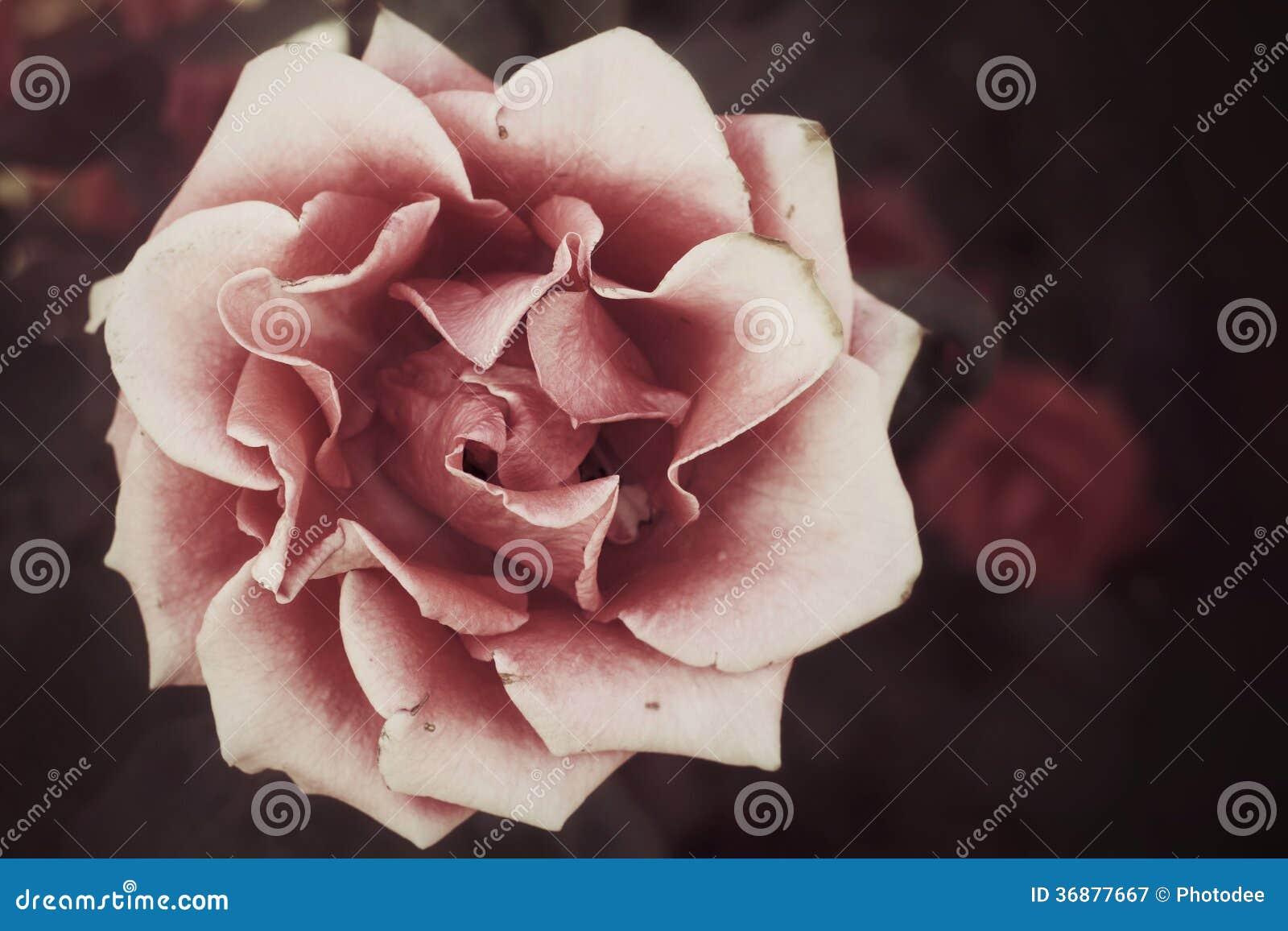 Download Rosa immagine stock. Immagine di disegno, fioritura, rosso - 36877667